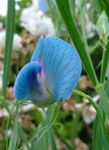 Photo Sweet Pea, light blue