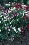Photo Sweet Pea, white