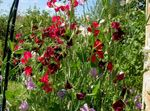 Photo Sweet Pea, burgundy