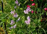 Photo Sweet Pea, lilac