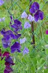 Photo Sweet Pea, purple