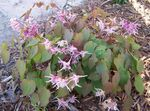 Photo Longspur Epimedium, Barrenwort, lilac