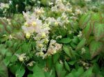Photo Longspur Epimedium, Barrenwort, white