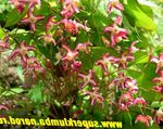 Photo Longspur Epimedium, Barrenwort, red