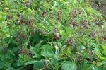 Water Avens, Bog Avens, Cure All
