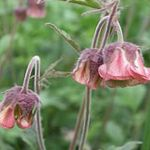 Photo Water Avens, Bog Avens, Cure All, burgundy