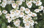 Photo Diascia, Twinspur, white