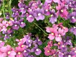 Photo Diascia, Twinspur, lilac