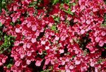 Photo Diascia, Twinspur, red