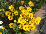 Photo Cape Marigold, African Daisy, yellow