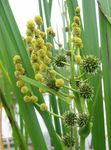Photo Exotic Bur Reed, yellow