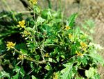 Great Yellowcress