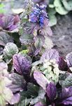 Photo Bugle, Bugleweed, blue