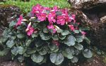 Photo Incarvillea, Dwarf Hardy Gloxinia, pink