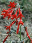 Standing Cypress, Scarlet Gilia