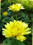 Photo Pot Marigold, yellow