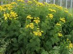 Photo Curled Tansy, Curly Tansy, Double Tansy, Fern-leaf Tansy, Fernleaf Golden Buttons, Silver Tansy, yellow