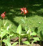 Canna Lily, Indian shot plant
