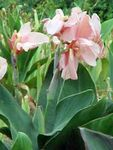 Photo Canna Lily, Indian shot plant, pink