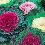 Photo Flowering Cabbage, Ornamental Kale, Collard, Curly kale, red