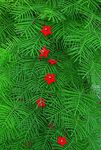 Photo Cardinal Climber, Cypress Vine, Indian Pink, red