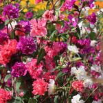 Photo Clarkia, Garland Flower, Mountain Garland, red