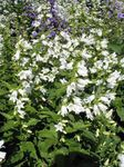 Photo Campanula, Bellflower, white