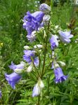 Photo Campanula, Bellflower, light blue