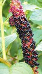 Photo American Pokeweed, Inkberry, Pidgeonberry, black