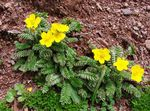 Photo Cinquefoil, yellow