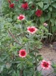 Photo Cinquefoil, pink