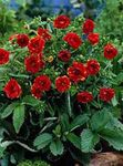 Photo Cinquefoil, red