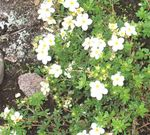 Photo Cinquefoil, white