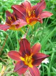 Photo Daylily, red