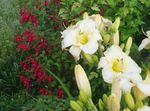 Photo Daylily, white