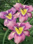 Photo Daylily, lilac