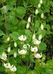 Photo Martagon Lily, Common Turk's Cap Lily, white