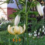 Photo Martagon Lily, Common Turk's Cap Lily, yellow