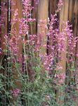 Photo Agastache, Hybrid Anise Hyssop, Mexican Mint, pink