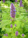 Photo Agastache, Hybrid Anise Hyssop, Mexican Mint, lilac