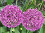 Photo Ornamental Onion, pink