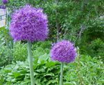 Photo Ornamental Onion, purple