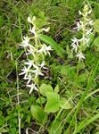 Photo Species Orchid, Lesser Butterfly Orchid, Two-Leafed Platanthera, white