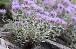 Photo Scarlet Monardella, Hummingbird Coyote Mint, lilac