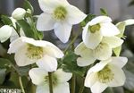 Photo Christmas Rose, Lenten Rose, white