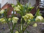 Photo Christmas Rose, Lenten Rose, yellow