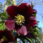 Photo Christmas Rose, Lenten Rose, burgundy