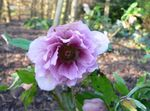 Photo Christmas Rose, Lenten Rose, lilac