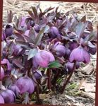 Photo Christmas Rose, Lenten Rose, purple