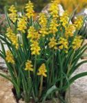 Photo Grape hyacinth, yellow